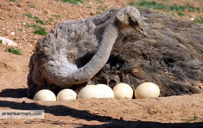میزان تخم گذاری شترمرغ