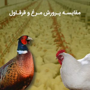 پرورش قرقاول با مرغ