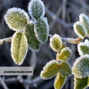 آسیب هزار میلیارد ریالی سرما به کشاورزی استان اصفهان