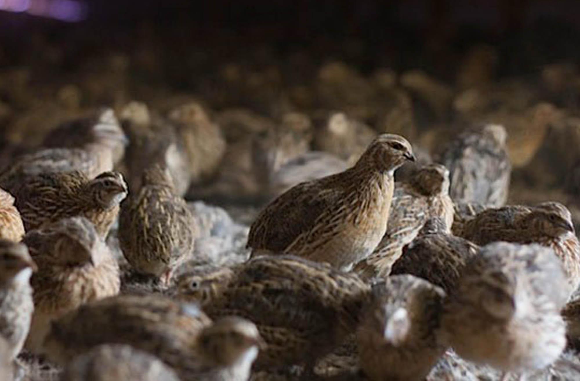 پرورش پرندگان به صورت یکجا