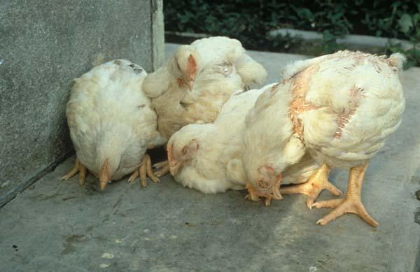 بیماری نیوکاسل در مرغ ها