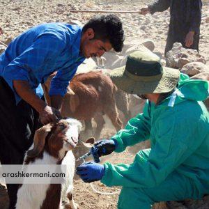ایمن سازی بیش از سه میلیون دام در استان مرکزی