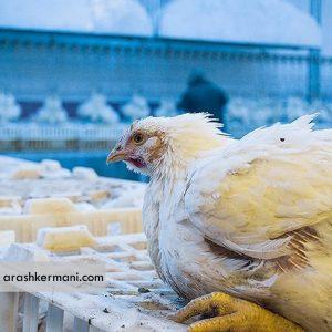 افزایش احتمال انتقال بیماری آنفلوانزا با خریدوفروش مرغ زنده