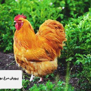 پرورش مرغ بومی در قفس