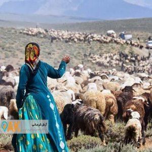 دامهای بیهویت عشایر مصداق کالای قاچاق محسوب میشوند