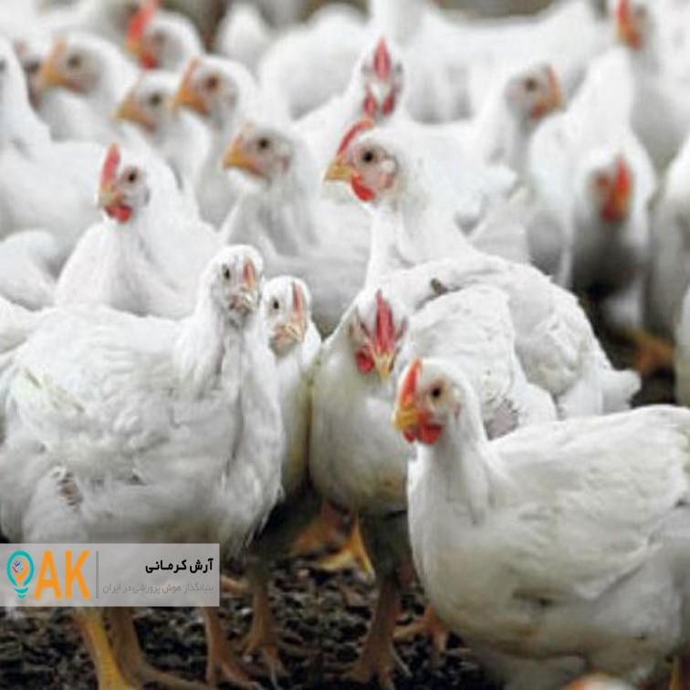 استان فارس در زمینه تولید مرغ، ظرفیت مازاد بر نیاز دارد
