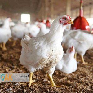 مردم ترجیح میدهند از مرغ زنده استفاده کنند