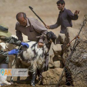 واکسیناسیون رایگان بیش از 8 هزار دام به مناسبت دهه فجر
