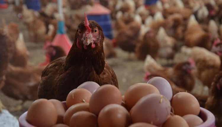 تغذیه مرغ تخمگذار