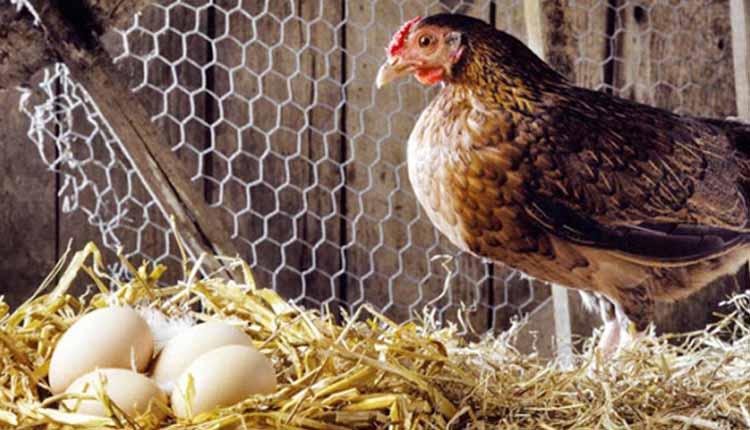 میزان تخمگذاری مرغ