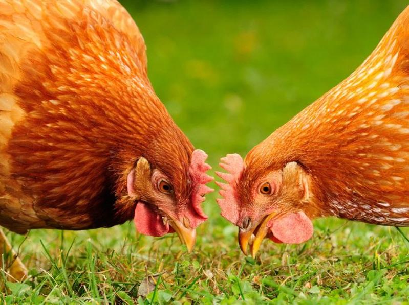 آشنایی با بهترین نژاد مرغ تخمگذار در آرش کرمانی